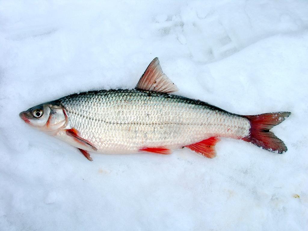 прикормка для рыбы течении