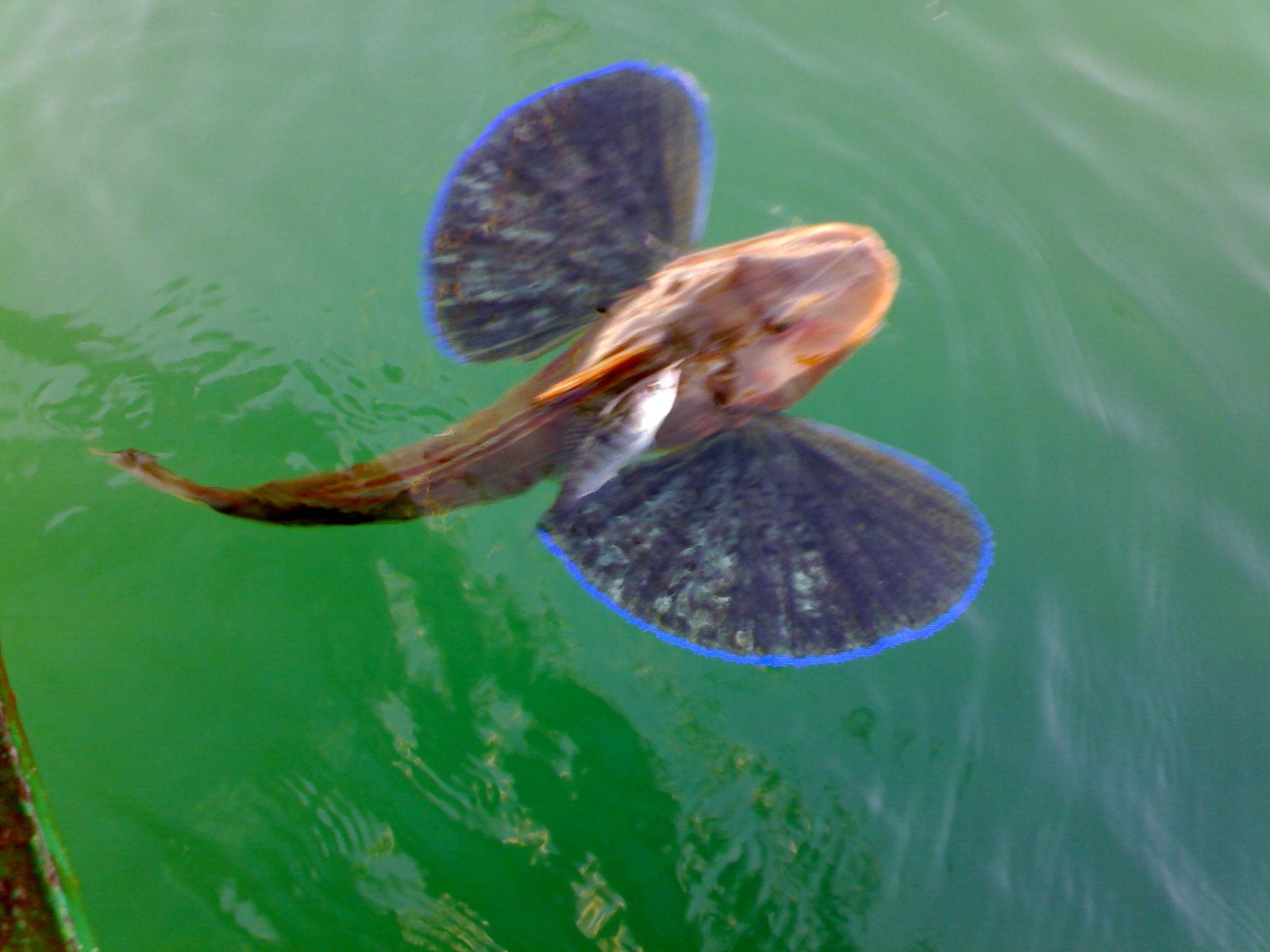 черноморский пеленгас фото